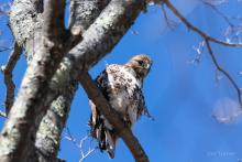 A red-tailed hawk at SVT's Lyons-Cutler Reservation in Sudbury, photographed by Jon Turner.