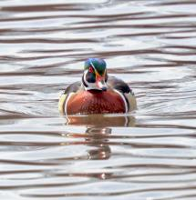 A wood duck at Hager Pond in Marlborough, photographed by Steve Forman.