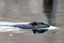 A beaver in Bolton, photographed by Jon Turner.
