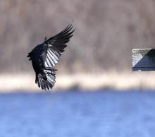 An American crow at Great Meadows National Wildlife Refuge in Concord, photographed by Steve Forman.
