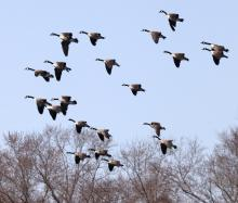 Canada geese at Great Meadows National Wildlife Refuge in Concord, photographed by Steve Forman.