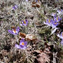 Honey bees on crocuses in Sudbury, photographed by Rebecca Cutting.
