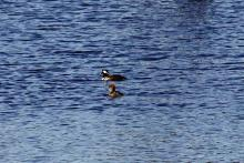 Hooded mergansers at Assabet River National Wildlife Refuge in Maynard, photographed by Craig Smith.