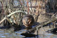 A muskrat at Assabet River National Wildlife Refuge in Maynard, photographed by Craig Smith.
