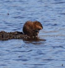 A muskrat at Great Meadows National Wildlife Refuge in Concord, photographed by Steve Forman.