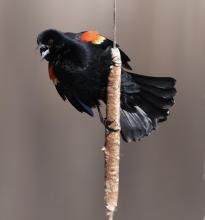 A red-winged blackbird at Great Meadows National Wildlife Refuge in Concord, photographed by Steve Forman.