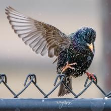 A European starling in Westborough, photographed by Nancy Wright.