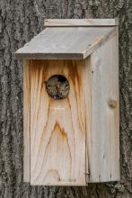 Gray squirrels in a nest box in Westborough, photographed by Nancy Wright.