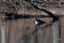 A hooded merganser at Brewer Brook Dam in Berlin, photographed by Nancy Wright.