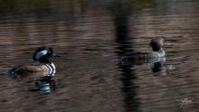 A pair of hooded mergansers at Brewer Brook Dam in Berlin, photographed by Nancy Wright.