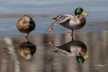 A pair of mallards at Brewer Brook Dam in Berlin, photographed by Nancy Wright.