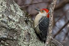 A red-bellied woodpecker in Westborough, photographed by Nancy Wright.