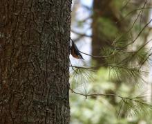 A red-breasted nuthatch at SVT's Gray Reservation in Sudbury, photographed by Victoria Holland.