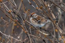 A tree sparrow in Westborough, photographed by Nancy Wright.