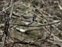 A tufted titmouse at SVT's Gray Reservation in Sudbury, photographed by Victoria Holland.