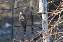 A Cooper's hawk in Maynard, photographed by Gail Sartori.