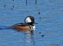 A hooded merganser at Great Meadows National Wildlife Refuge in Concord, photographed by Joan Chasan.