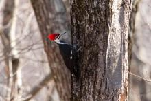 A pileated woodpecker in Bolton, photographed by Jon Turner.