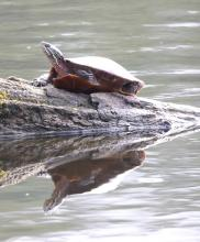 A painted turtle at Grist Mill Pond in Sudbury, photographed by Steve Forman.