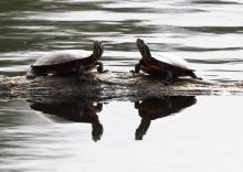 Painted turtles at Grist Mill Pond in Sudbury, photographed by Steve Forman.