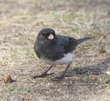 A dark-eyed junco at Breakneck Hill Conservation Land in Southborough, photographed by Steve Forman.