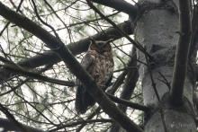 A great horned owl at SVT's Lyons-Cutler Reservation in Sudbury, photographed by Jon Turner.