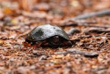 A spotted turtle at SVT's Lyons-Cutler Reservation in Sudbury, photographed by Jon Turner.