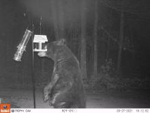 An American black bear in Northborough, photographed by Brett Miller.