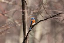 An eastern bluebird in Bolton, photographed by Jon Turner.