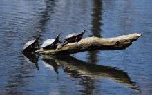 Painted turtles in Northborough, photographed by Cynthia Burns.