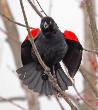 A red-winged blackbird at Great Meadows National Wildlife Refuge in Concord, photographed by Joan Chasan.