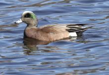 An American wigeon at Hager Pond in Marlborough, photographed by Steve Forman.