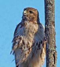 A red-tailed hawk off Pelham Island Road in Wayland, photographed by Joan Chasan.