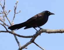 A common grackle at Great Meadows in Concord, photographed by Steve Forman.