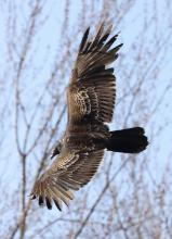 A turkey vulture at Great Meadows National Wildlife Refuge in Concord, photographed by Steve Forman.
