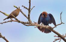 Brown-headed cowbirds at Breakneck Hill Conservation Land in Southborough, photographed by Steve Forman.