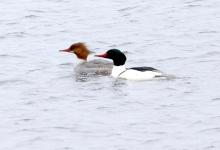 Common mergansers at the Sudbury Reservoir in Southborough, photographed by Steve Forman.