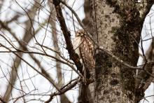 A red-shouldered hawk in Bolton, photographed by Jon Turner.