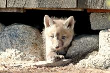 A red fox kit in Sudbury, photographed by Russ Place.