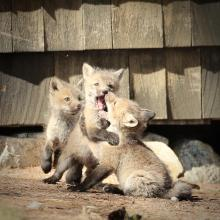 Red foxes in Sudbury, photographed by Russ Place.