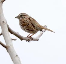 A song sparrow at Breakneck Hill Conservation Land in Southborough, photographed by Steve Forman.