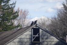 Turkey vultures in Sudbury, photographed by Tree Raine.