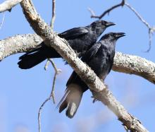 American crows at Hager Pond in Marlborough, photographed by Steve Forman.