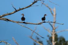 Wood ducks at SVT's Smith Conservation Land in Littleton, photographed by Jon Turner.