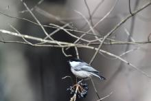 A black-capped chickadee at Assabet River National Wildlife Refuge, photographed by Gail Sartori.