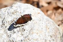 A mourning cloak butterfly at Assabet River National Wildlife Refuge, photographed by Gail Sartori.