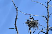 An osprey at Assabet River National Wildlife Refuge, photographed by Gail Sartori.