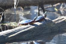 Painted turtles at Assabet River National Wildlife Refuge, photographed by Gail Sartori.