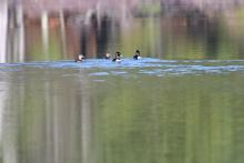 Ring-necked ducks at Assabet River National Wildlife Refuge, photographed by Gail Sartori.
