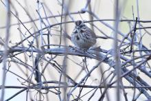 A song sparrow at Assabet River National Wildlife Refuge, photographed by Gail Sartori.